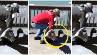 Hombre ayuda a un pelicano Portada